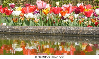 Beautiful mix of bright multicolored black yellow red pink white tulips in the world famous royal park Keukenhof water reflection. Tulip field close up view Netherlands, Holland