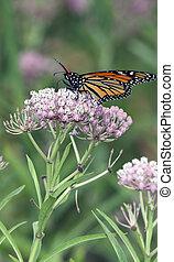 Beautiful Monarch Butterfly Feeding on Pink Flowers -...
