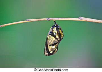 beautiful Monarch chrysalis hanging on branch - beautiful ...