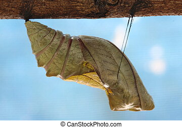 beautiful Monarch chrysalis on tree , butterfly, background
