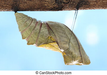 beautiful Monarch chrysalis on tree , butterfly