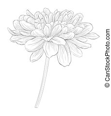 beautiful monochrome black and white dahlia flower isolated ...