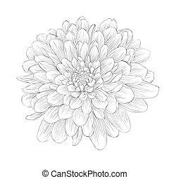 beautiful monochrome black and white dahlia flower isolated on white background.