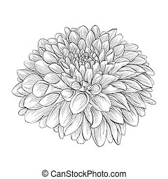 beautiful monochrome black and white dahlia flower isolated...