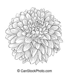 beautiful monochrome black and white dahlia flower isolated...