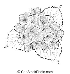 monochrome, black and white flower hydrangea isolated