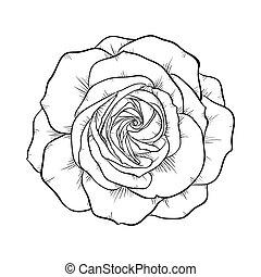 black and white rose isolated on white background.