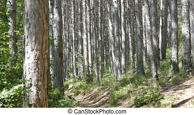 Beautiful mountain forest. Smooth trunks of pine trees in the mountains