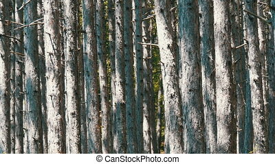Beautiful mountain forest. Smooth trunks of pine trees in...