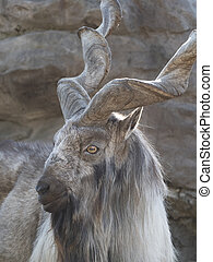 Beautiful mountain goat with helical long horns on the background of rocks
