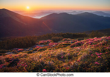 Beautiful mountain landscape with blossoming rhododendron flowers
