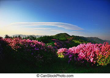 Beautiful mountains in south korea, baraebong, azaleas