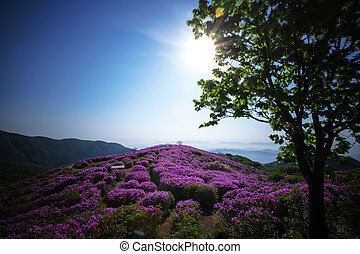 Beautiful mountains in south korea, hwangmaesan, Azaleas