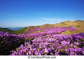 Beautiful mountains in south korea,hwangmaesan,Azaleas