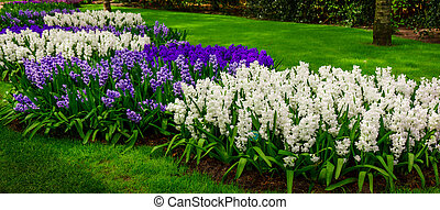 beautiful multicolored hyacinths. Colorful hyacinth flowers blossom in spring garden