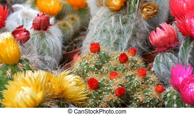 Beautiful multicolored unusual blooming cacti of a various...