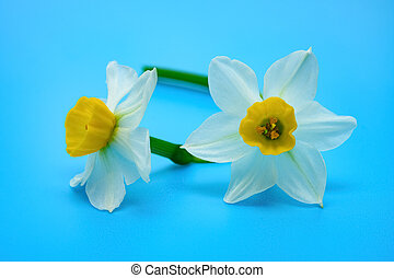 beautiful narcissus close up on a blue background