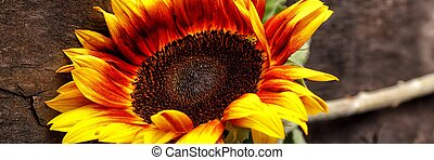 Beautiful natural bright sunflower on wooden background.