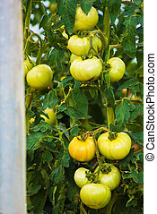 beautiful natural grown plants of tomato