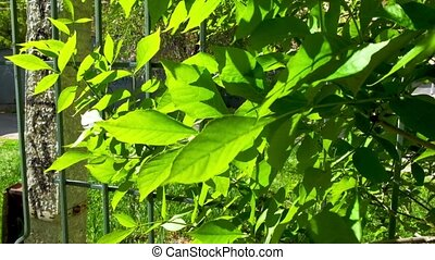 Beautiful nature background - green leaves of common ash, bright sun, near fence