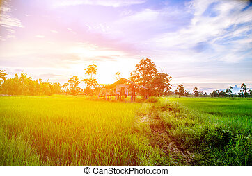 beautiful nature landscape rice field