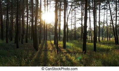 Beautiful Nature of the Forest at Sunset