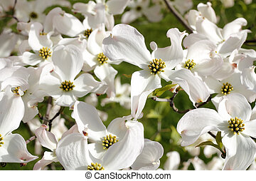 Beautiful Nature - White dogwood tree flowers blooming on a...