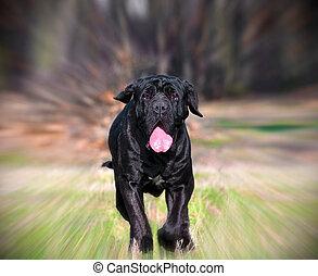 Neapolitan Mastiff - beautiful Neapolitan Mastiff running on...