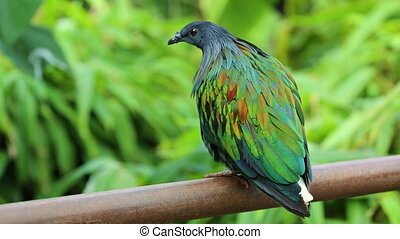 Nicobar Pigeon Perched on a Fence - Beautiful Nicobar Pigeon...