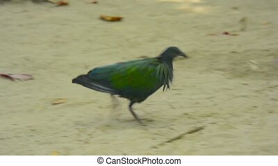Full HD video - Beautiful and colorful Nicobar Pigeon, with it's iridescent plumage, walking quickly through the sand and stopping to peck at a potential snack.