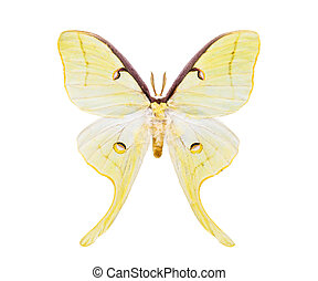 Beautiful night moth with tailed wings isolated on white -...