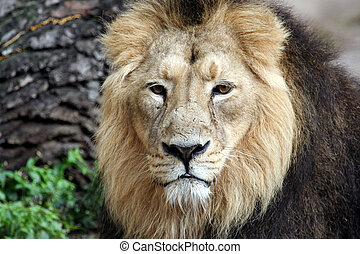 Beautiful noble lion
