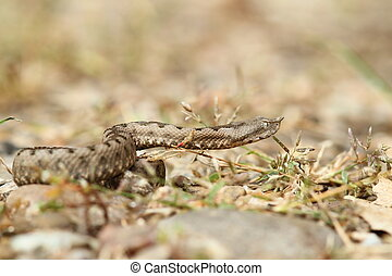 beautiful nose horned viper on gravel