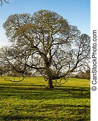 Beautiful oak tree in a park in winter