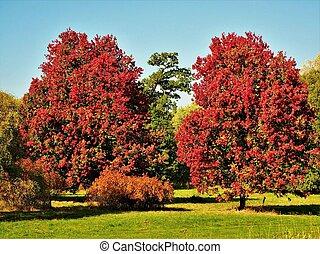 Beautiful October Glory maple trees in autumn foliage
