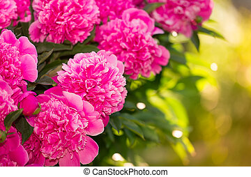 Beautiful of Pink Peony Flowers in the Garden