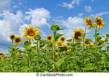 Beautiful of sunflowers