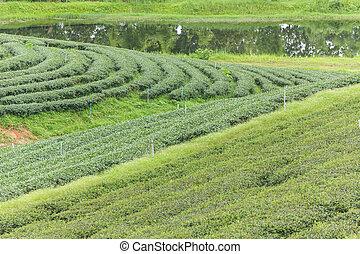 Beautiful of Tea plantation at sunrise
