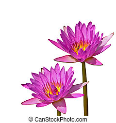 waterlily - Beautiful of two pink waterlily, isolated on a...