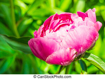 Beautiful one pink peony flower in bright sunlight in a summer garden in the open, close-up, nobody