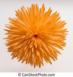 Beautiful orange chrysanthemum on white background.