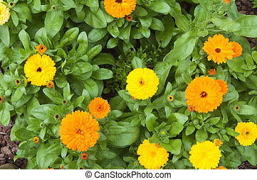 Beautiful orange chrysanthemums, the top view