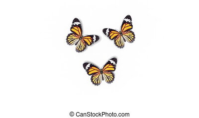 Beautiful Orange Colored Butterflies Monarch Danaus Plexippus Fly into the Screen, Sit Down and Fly Away. White Green Backgrounds Close-up. Loop-able 3d Animation with Alpha. 4k Ultra HD 3840x2160
