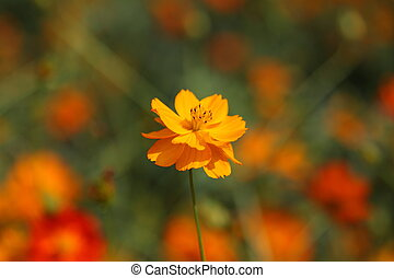 beautiful orange cosmos flower