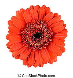Beautiful Orange Gerbera Flower Isolated on White