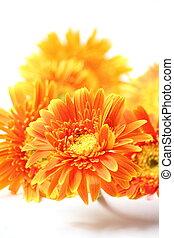l orange gerbera flower isolated on white