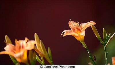 beautiful orange Hemerocallis against backlight - beautiful...