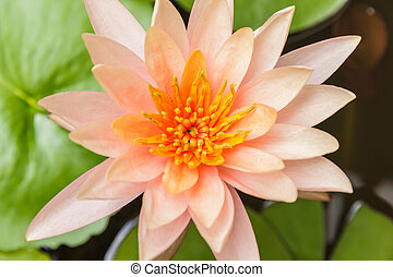 Beautiful orange lilies in the pond.
