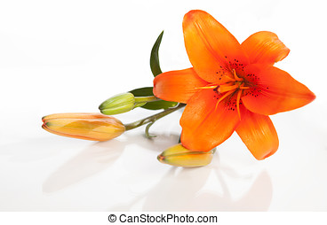 lilly - beautiful orange lilly isolated on white background
