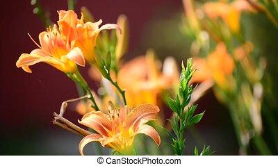 Beautiful orange lily against backlight - Beautiful orange...